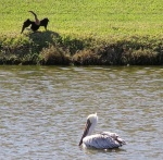 Providing a great fishing ground for the pelican and anhinga in Florida.