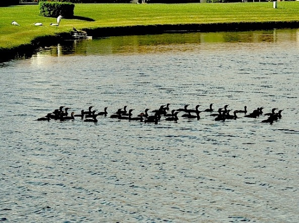 Florida ducks