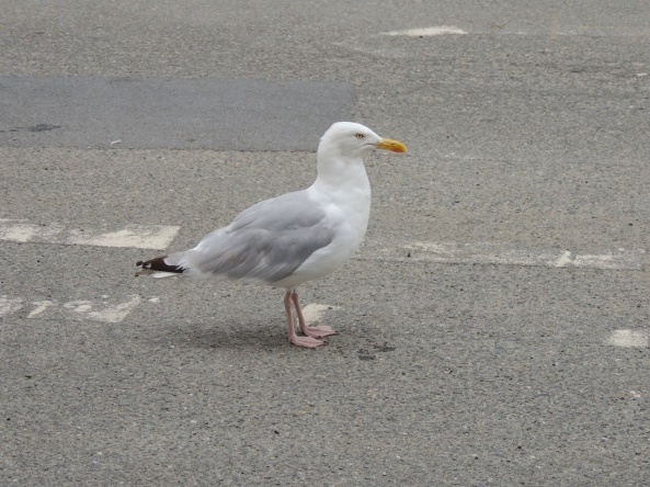 A lone seagull on the road in Polperro, Cornwall.