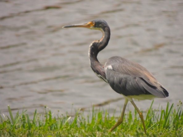 A juvenile heron strutting around the lake outside my house here in Florida.