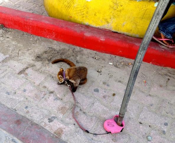 A poor little captive Kinkajou in San Pedro, Belize.