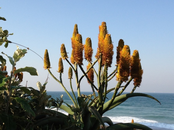 An Aloe 'candelabra' on my home shoreline in South Africa.